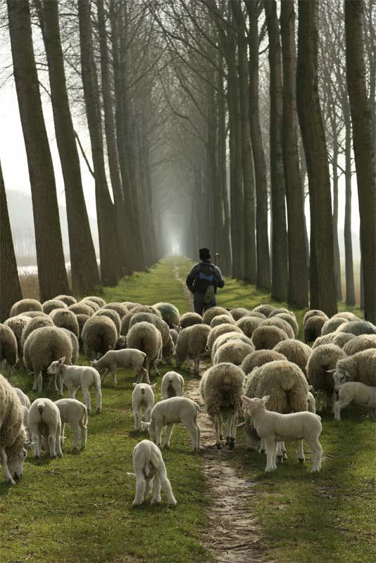 Gelukkige schapen aan de wandel