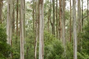 eucalyptus bos Tencel