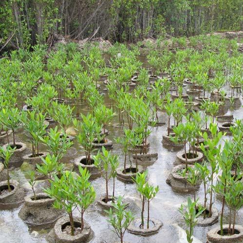 Mangrove bos cadeau