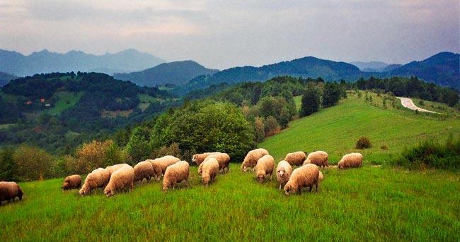 schapen-in-wei