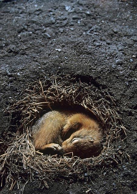 Grondeekhoorn winterslaap: https://www.yumeko.nl/blog/2012/11/winterzzzlaap