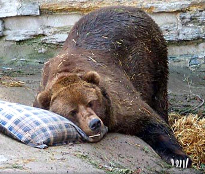 Een slapende beer op een Yumeko kussen