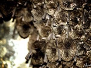 Slapende vleermuizen