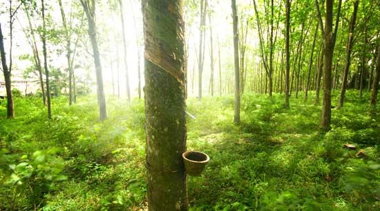 Onze latex is afkomstig van duurzame rubberplantages in Maleisië. De latex wordt ter plekke tot matraskernen gegoten. Zo creëren we ook ter plaatse werkgelegenheid.