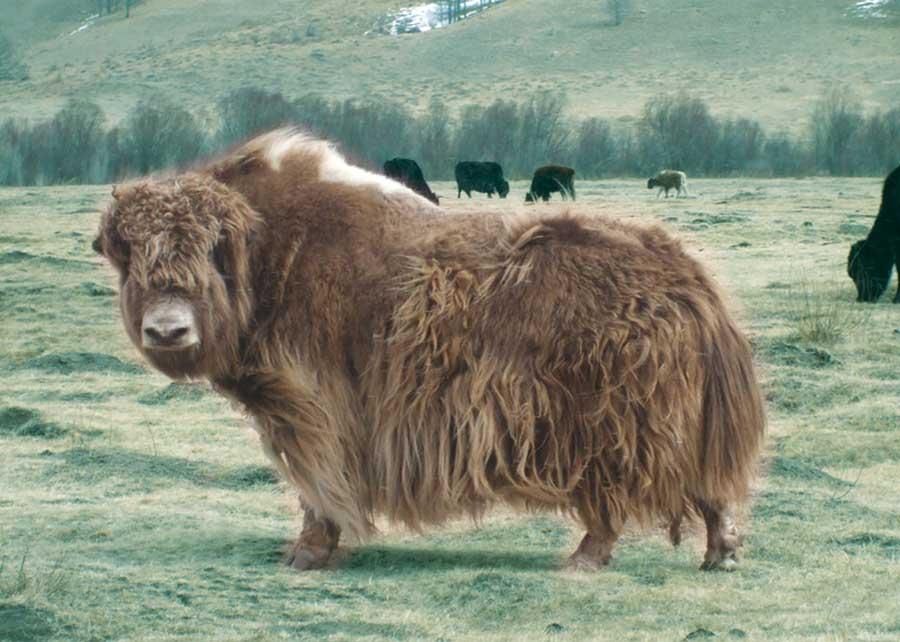 yak wol